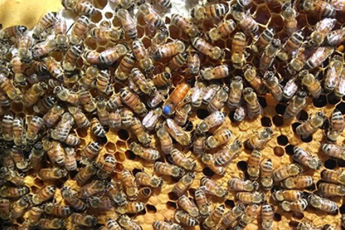 Requeening Beehives: Everything You Need to Know
