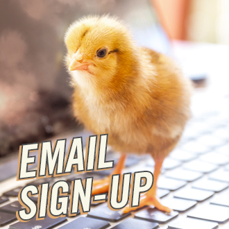 Chicken Newsletter